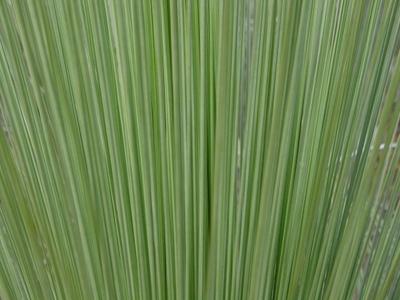 Grass_tree_close_up